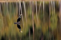 great cormorant Phalacrocorax carbo, resting on a moore lake, Poland, Masuria