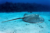 Roughtail Stingray (Dasyatis centroura) swimming in front of a coral reef over a sandy seabed, Hopkins, Dangria, Belize, Central America, Caribbean