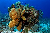 Block of coral with Brown Tube Sponges (Agelas conifera) and diverse corals, Turneffe Atoll, Belize, Central America, Caribbean