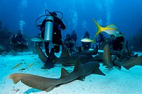 Scuba divers amongst a school of Nurse Sharks (Ginglymostoma cirratum) lying on the sandy ocean after having been attracted by a container of scent ag...