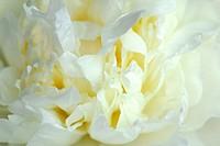 white peony, detail