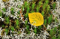 Autumnal birch leaf on moss, Sweden, Scandinavia, Europe