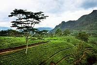 sri lanka, nuwara elia, tea field