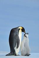 Tier,Tiere,Vogel,Voegel,Pinguin,Pinguine,Kaiserpinguin,Kaiserpinguine,Querformat,Antarktis,antarktisch,Polargebiet,Polargebiete,adult,ausgewachsen,Tie...