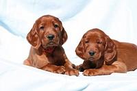 blaue Decke,einzeln,Familienhunde,Irischer Roter Setter,Irish Red Setter,Jagdhunde,liegen,Querformat,Rassehund,rot,ruhen,von vorne,Welpen,Tier,Tiere,S...