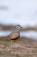 dotterel, Speedy dotterel Charadrius morinellus, Eudromias morinellus, standing, United Kingdom, Scotland, Cairngorms National Park
