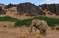 Desert elephant, Desert_dwelling elephant, African elephant Loxodonta africana africana, in habitat, Namibia, Damaraland
