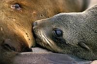 south african fur seal, Cape fur seal Arctocephalus pusillus pusillus, nursing, Namibia, Skelett Kueste, Kreuz Kap
