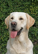 Labrador Retriever Canis lupus f. familiaris, panting single animal, Germany