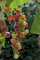 grape_vine, vine Vitis vinifera, red bunch of grapes, Germany