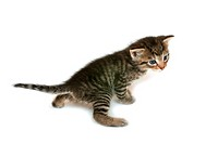 domestic cat, house cat Felis silvestris f. catus, kitten