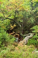 oak Quercus spec., loopy trunk, Germany, Sachsen Anhalt, Ilsetal