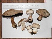 mushroom Agaricus spec., a few fruting bodies on a white sheet o paper an a ruler