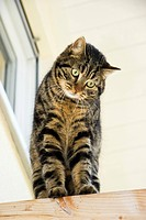 domestic cat, house cat Felis silvestris f. catus, cat on roof beam, Germany