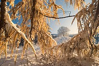 common larch, European larch Larix decidua, freshly snow_covered winter landscape after winter set in with autumnal coloured larches, Germany, Baden_W...