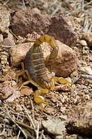 scorpions Buthus ibericus, in defence posture, Spain, Andalusia, Naturpark Cabo de Gata