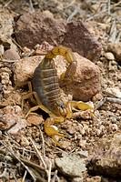 scorpions Buthus ibericus, in defence posture, Spain, Andalusia, Naturpark Cabo de Gata