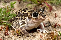 Western European spadefoot, Iberian spadefoot Pelobates cultripes, sitting on sandy soil, Spain, Andalusia, Donana Nationalpark