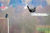 great cormorant Phalacrocorax carbo, shitting from street light