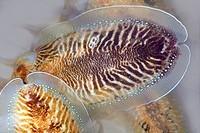 Cuttlefish uncooked Mediterranean squid seafood