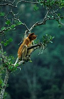 proboscis monkey Nasalis larvatus, sitting on tree, Malaysia, Borneo, Baku Nationalpark