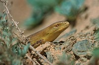 European glass lizard, armored glass lizard Ophisaurus apodus, Pseudopus apodus, with ticks, Uzbekistan, Dzhizak, Nuratau Gebirge