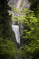 maple Acer spec., VERNAL FALLS and MAPLE TREES with fresh Spring leaves, USA, California, Yosemite National Park