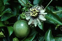 passion fruit, granadilla Passiflora edulis, blossom and fruit