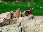 alpine marmot Marmota marmota, two individuals on rock, Italy, Alps, Parco naturale Alpes maritimes, Valdieri