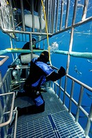 Scuba divers in a cage observing a Great White Shark Carcharodon carcharias, Guadalupe Island, Mexico, Pacific, North America