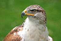 Ferruginous Hawk Buteo regalis