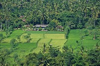 Extensive rice fields surrounded by palm trees in the south of Lombok Island, Lesser Sunda Islands, Indonesia, Asia