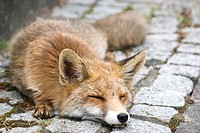 Dying Red Fox (Vulpes vulpes) in a residential area, Baden-Wuerttemberg, Germany, Europe