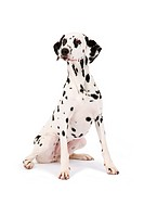 Dalmatian Canis lupus f. familiaris, full_length portrait of a Dalmatian, sitting