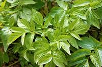 Garden Angelica (Angelica archangelica)