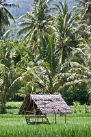 Thatched hut in a rice_field for protection from the sun, Lombok Island, Lesser Sunda Islands east of Bali, Indonesia, Asia