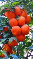 mandarin, tangerine Citrus reticulata, fruiting branch, Spain, Majorca