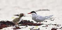 arctic tern Sterna paradisaea, feeding chick on the beach, Norway, Vesteralen
