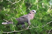 red_eyed dove Streptopelia semitorquata, sitting in a tree, South Africa, Cape Province