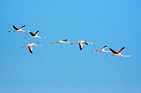 greater flamingo Phoenicopterus ruber, in flight formation, Spain