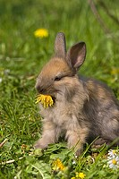 dwarf rabbit Oryctolagus cuniculus f. domestica, feeding a dandelion blossom on a meadow in spring, Germany