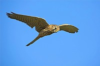 common kestrel Falco tinnunculus, flying, Germany, Rhineland_Palatinate