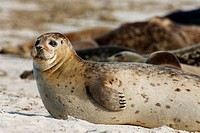 Seehund / Harbor Seal / Common Seal / Phoca vitulina