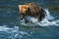 Brown Bear (Ursus arctos) fishing for salmon, Brooks River, Brooks Falls, Katmai National Park, Alaska, USA, North America