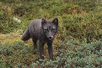 South Greenland, Qinnguadalen, Arctic fox