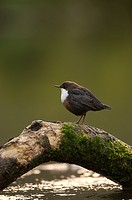 Dipper Cinclus cinclus perched along the river at Lathkill Dale