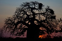 Baobab, Kruger National Park, South Africa