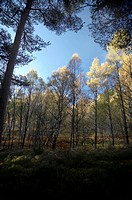 Silver birch trees in autumn light in Rothiemurchus Forest, Aviemore