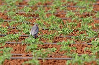 western red_footed falcon Falco vespertinus, sitting in a vegetable field, Italy, Apulia, Pulia