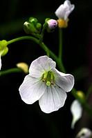 Cuckoo flower or lady´s smock Cardamine pratensis